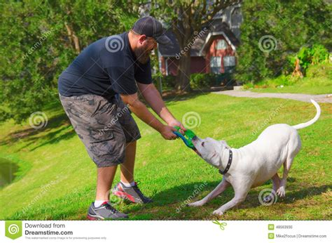 tug of war with puppy tug of war w american bulldog pet stock photo image 48563930