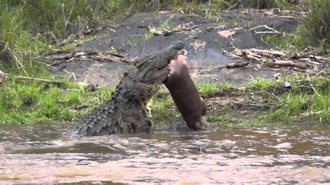youtube video of hippo chasing boat crocodile kills baby hippo youtube