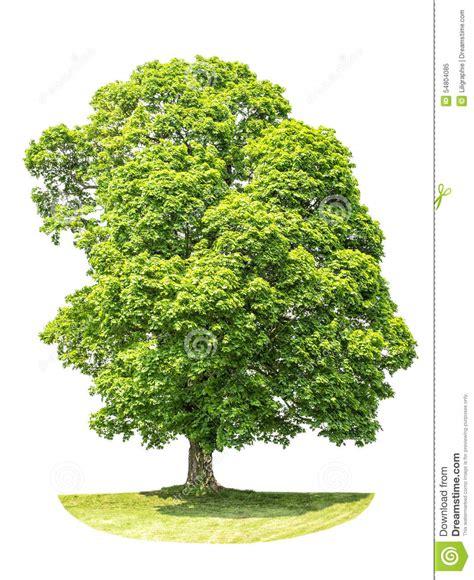 maple tree environment green maple tree isolated on white background stock photo image 54804085