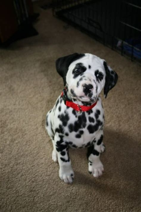 dalmatian puppy names best 10 dalmatian dogs ideas on dalmatians dalmatian breed and dalmatian