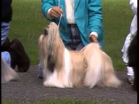 shih tzu hyperventilating silky terrier akc breed series funnydog tv