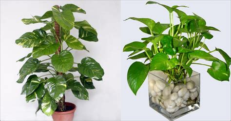 indoor plants  purifies house air quality