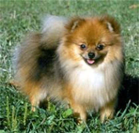 petfinder pomeranian adopt a pomeranian breeds petfinder