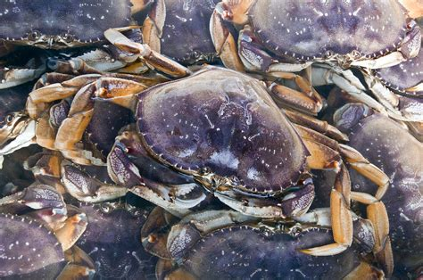 Whats In Season Dungeness Crabs by Dungeness Crab Season Opens With A Catch Photograph