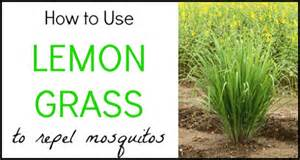 how to use lemon grass to repel mosquitos your stylish life