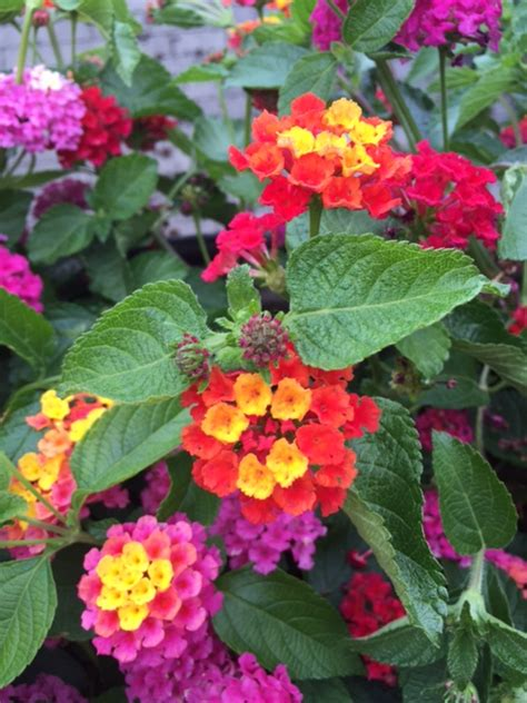 lantana colors black gold here are tips for preparing the garden for a