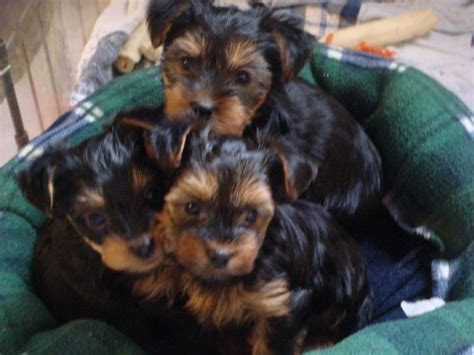 yorkie puppies for sale cincinnati ohio jmadorableyorkies terrier breeder cincinnati ohio