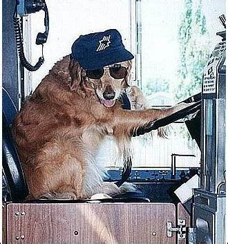 golden retriever driving shonda s highlights of the day 001 from brick city to