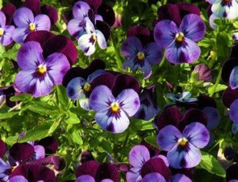 foto fiore viola significato dei fiori la viola pensiero pollicegreen