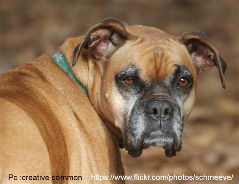 aggression towards why boxer dogs are aggressive towards other dogs or cats boxer info and health tips