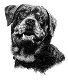 rottweiler drawings onlypencil drawing gallery