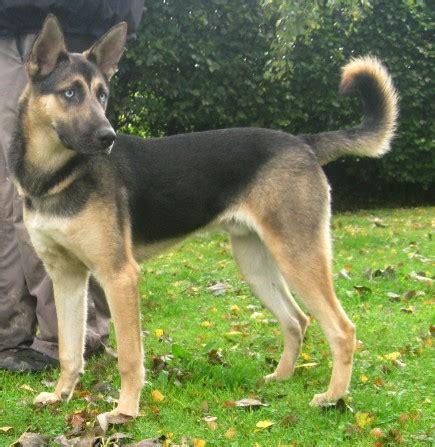 german shepherd puppies reno reno 9 10 month german shepherd cross for adoption