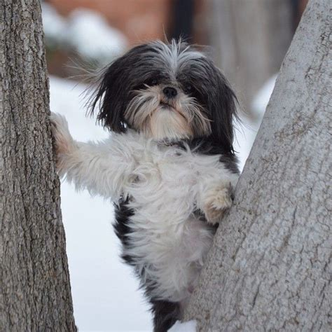 shih tzu club of america 9 amazing facts about shitzu poodles the greenskin