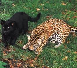 Jaguars And Panthers Index Of Dirlist Panther
