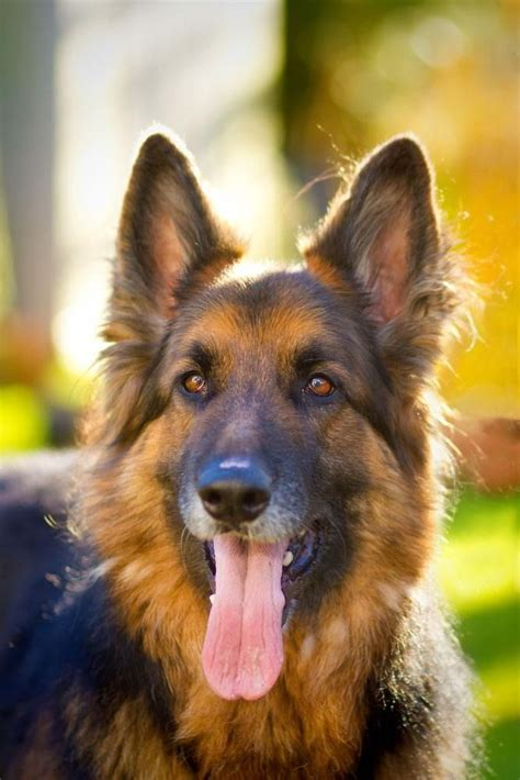 german shepherd names german shepherd names gsd names them beautiful and pictures of