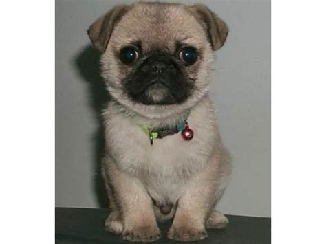 pug or shih tzu pug and shih tzu pug zu