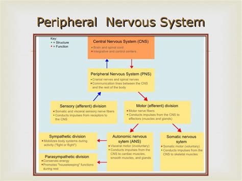 flow diagram of nervous system motor division of the peripheral nervous system