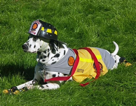 firefighters with puppies free staffy stafford forum
