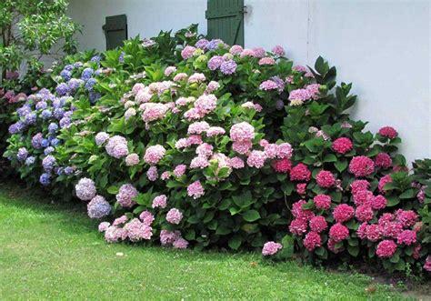 imagenes de jardines con hortensias como controlar y cambiar el color de las hortensias