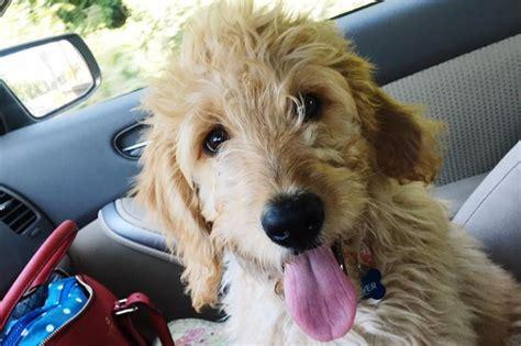 goldendoodle puppy denver fundraiser by elizabeth white denver the goldendoodle s
