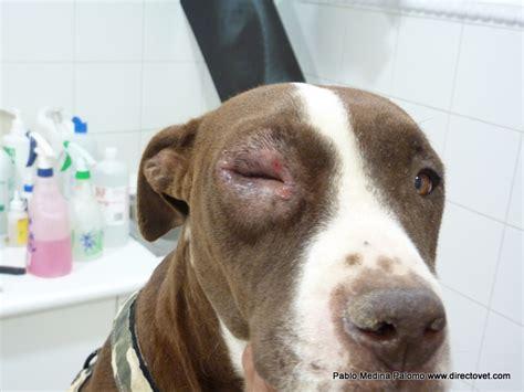 blepharitis in dogs de la veterinaria blefaritis causada por leishmania blepharitis caused by