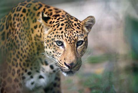 facts about jaguar 10 roaring facts about jaguars mental floss