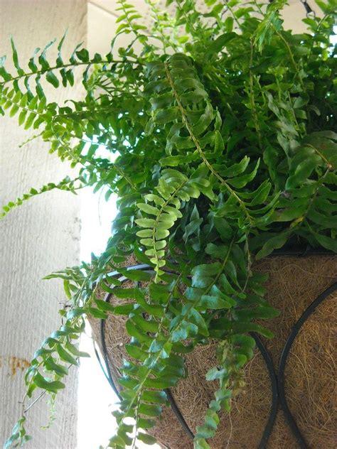 trimming boston ferns   cut  boston ferns
