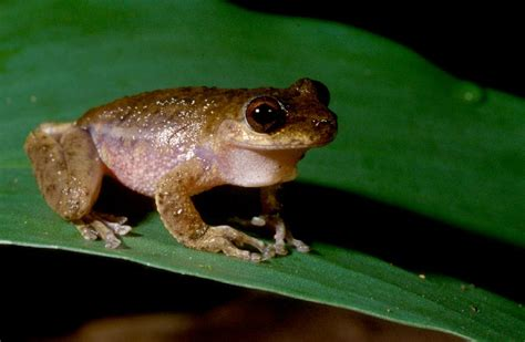 Plants In The Tropical Rain Forest - common mistfrog litoria rheocola department of environment and heritage protection