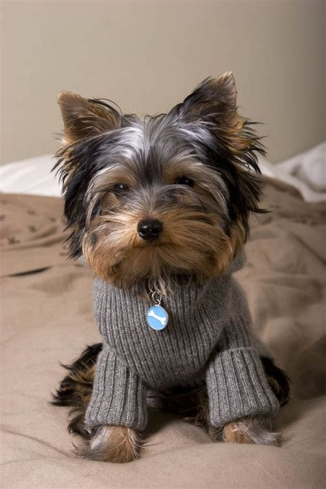 yorkie sweaters adorable yorkie puppy sweater gods greatest creations