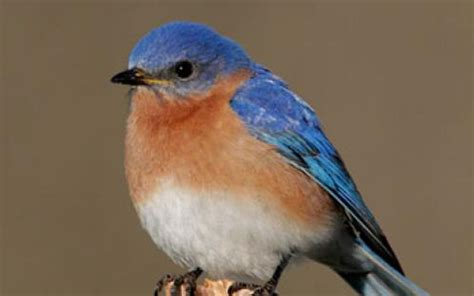More Than Just Birds Wood by The Eastern Bluebird More Than Just A Pretty Bird