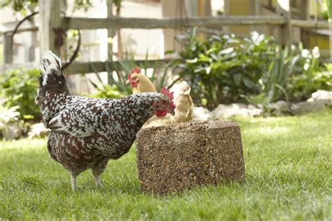 Backyard Chickens Egg Pecking How To Stop Chickens From Pecking Each Other In 3 Easy