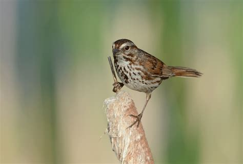 the gallery for gt song sparrow in flight