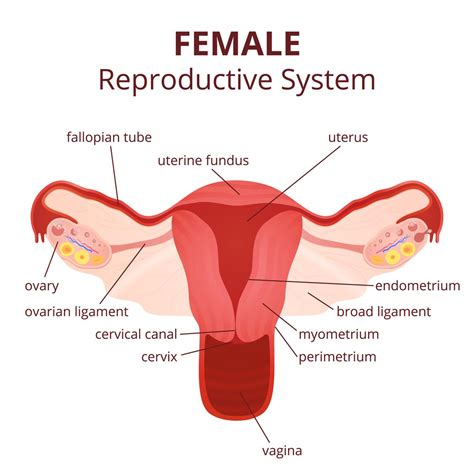 Female Reproductive System Diagram (se 6)