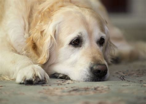 golden retriever muzzle wallpaper golden retriever muzzle lay sad hd background