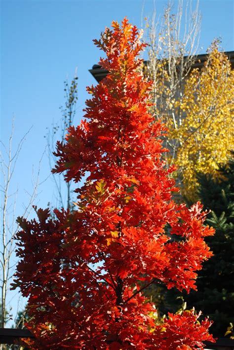 crimson fire oak tree  tall  narrow