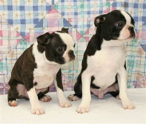 adopt a boston adopt a boston terrier alberta dogs our friends photo