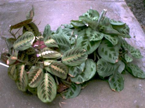 foliage house plant identification foliage houseplants the reliable favorites