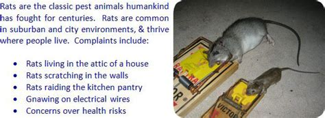 how to get rid of rats in house how to get rid of rats in the attic house walls