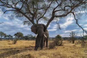 bull elephant gallery shoor travel safari animals 34 photos that will make you want