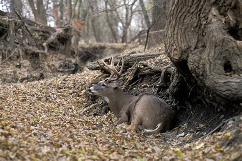 deer bed 8 bedding habits of mature deer realtree