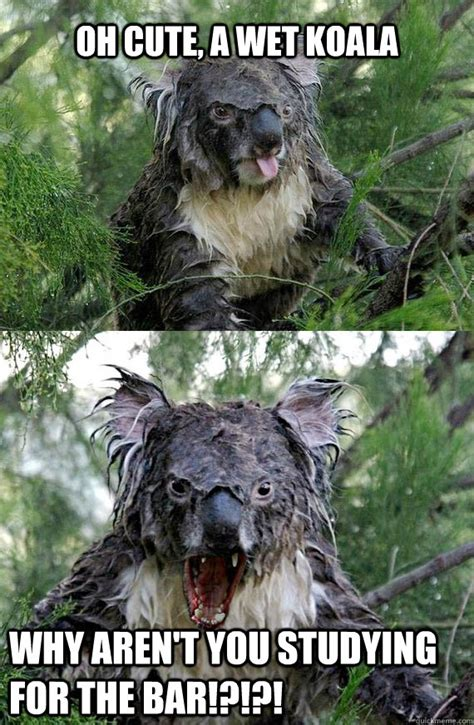 Angry Koala Meme - oh cute a wet koala why aren t you studying for the bar