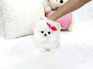 pomeranian for sale in michigan pomeranians for sale and animals on