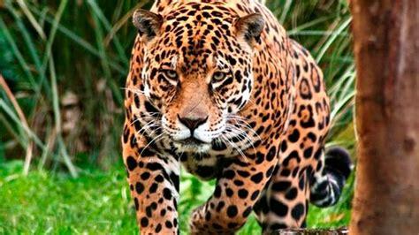 imagenes del jaguar en su habitat emprenden programa para evaluar y rescatar h 225 bitat del