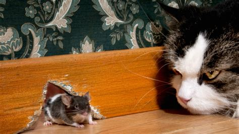how to get rid of mice in the house how to get rid of mice naturally and keep them away for good
