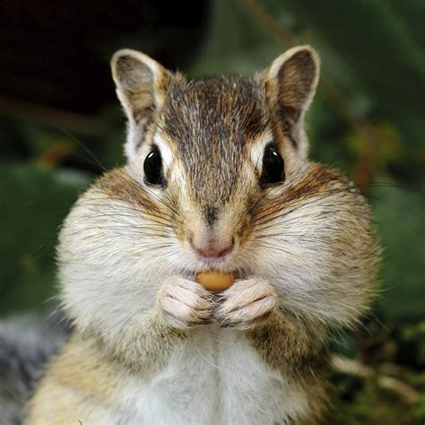 A Chipmunk - what do chipmunks eat you ll be surprised to