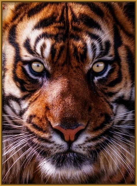 imagenes tumblr de tigres imagenes de caras de tigres tristes imagenes de tigres