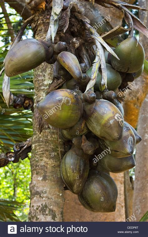 coco de mer fruit double coconut coco de mer palm world s largest plant