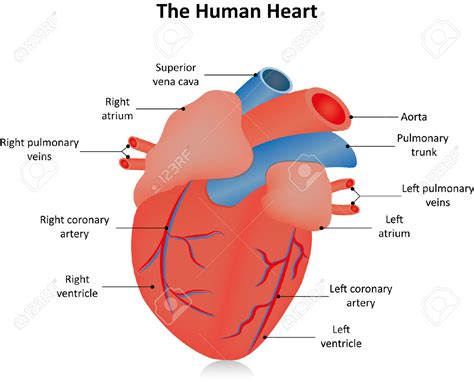 the heart is a actual human heart labeled the human heart labeled stock photo picture and royalty free organ