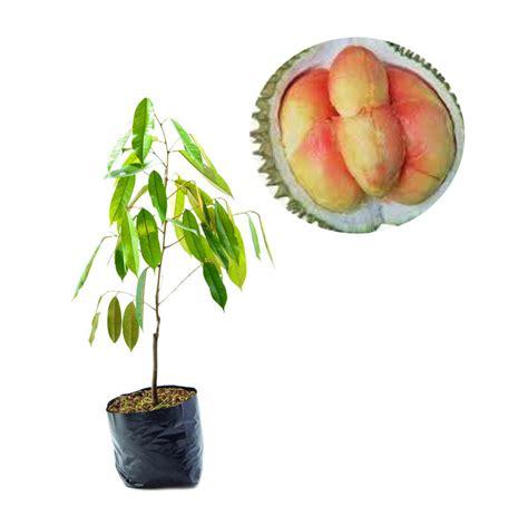 Bibit Yoghurt Di Supermarket jual bibit tanaman murah durian pelangi pulau jawa harga kualitas terjamin blibli