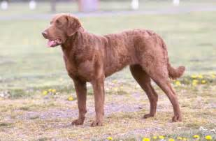 pics photos chesapeake bay retriever dog picture image